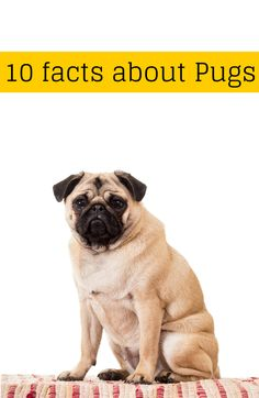 10 surprising facts about the Pug