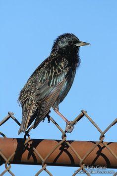 Starlings bird in strip malls