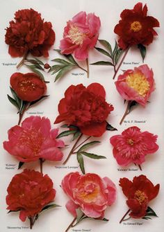 Red and pink peony flower guide