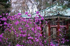 Japanisches Teehaus Und Erste Rhododendren Botanischer Garten Berlin Garten Berlin Botanischer Garten