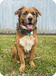 Houston, TX - Golden Retriever/Australian Shepherd Mix. Meet Gable, a dog for adoption. http://www.adoptapet.com/pet/14534935-houston-texas-golden-retriever-mix