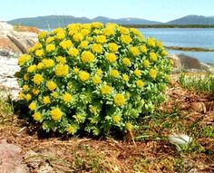 Cortisol and Reducing Stress with Rhodiola- Nutraways