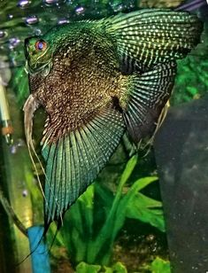 Okay, so you have decided that you want to own an aquarium. It is a good idea to make out a wish list before purchasing any fish for the aquarium. Tropical Fish Aquarium, Freshwater Aquarium Fish, Saltwater Aquarium, Planted Aquarium, Tetra Fish, Discus Fish, Pretty Fish, Beautiful Fish, Betta