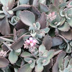 kalanchoe quicksilver succulent. A low, compact, hardy, perennial succulent with silvery grey leaves which age to maroon and masses of tiny lilac flowers in Winter. Needs little maintenance. ideal patio plant, borders, garden beds, edging, rockery plant and around bases of trees. Full sun to lightly shaded position. 80cm high by 80cm wide