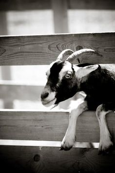 The Best Miniature Goat to Have As a Pet