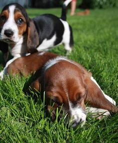 i want a basset hound puppy who's ears drag the floor and she trips over them when she runs