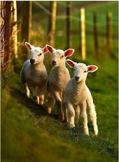 sheeps! :-)