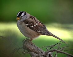 White-crowned Sparrow (Zonotrichia leucophrys). Native to North America, these birds eat seeds, plants and insects. In winter, they often forage in flocks. Photo taken in Santa Maria, CA, by Jamie Chavez.