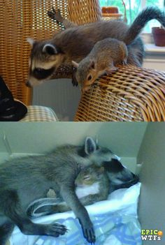 A squirrel and a raccoon hanging out together.