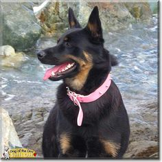 Read Shiloh's story the German Shepherd Dog from St. John's. Newfoundland, Canada and see her photos at Dog of the Day http://DogoftheDay.com/archive/2014/August/13.html .