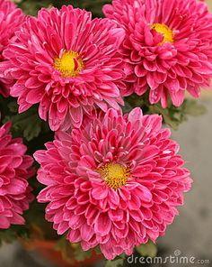 chrysanthemum pink..in bloom in autumn, in season.