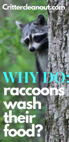 Raccoons can be seen putting their food in water and then rolling it around. Why do raccoons wash their food? This article has the answer. Getting Rid Of Raccoons, Killing Fleas, Household Pests, Best Pest Control, Insect Pest, Garden Pests, Yards, Bodies, Cute Babies