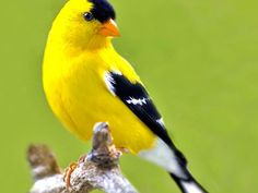 amarillo..........