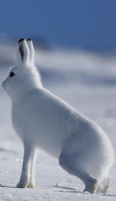 About Wild Animals: An arctic hare walking on snow, Arctic Hare, Arctic Animals, Farm Animals, Cute Animals, Wild Animals, Wild Animal Wallpaper, Hare Illustration, Cute Baby Bunnies, Wild Tiger