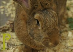 Cadbury is animal ambassador at the Peoria Zoo.  She is a Flemish giant rabbit. Her average weight is twenty-one pounds! This species of rabbit was bred in captivity, meaning it was never found in the wild.