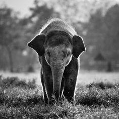 black and white, elephant