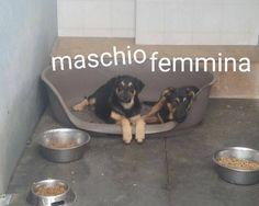 Milano: MERAVIGLIOSI CUCCIOLI INCROCIO PASTORE TEDESCO: #regalo #cuccioli #pastoretedesco #milano Vai all'annuncio: