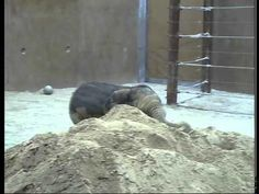 Aunt @Kimberly Foster have you seen this?! Baby elephant plays in the sand.  So cute!