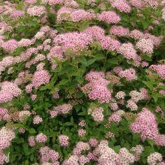 U bent op zoek naar een Spiraea japonica 'Little Princess' (spierstruik)? Tuincentrum Maréchal! ✔ Eigen kwekerij ✔ LAGE prijzen ✔ Uitgebreide planteninformatie