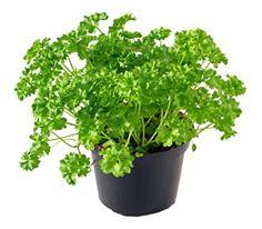 Parsley    A biennial herb (Petroselinum) grown as an annual.