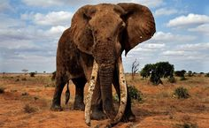 The Elephant Crisis Fund, a joint initiative created by Wildlife Conservation Network and Save the Elephants, is thrilled to announce a $1 million grant from the Leonardo DiCaprio Foundation. The grant will be used to save elephants from the current ivory poaching crisis by funding on-the-ground projects that stop poaching, trafficking, and demand for ivory.