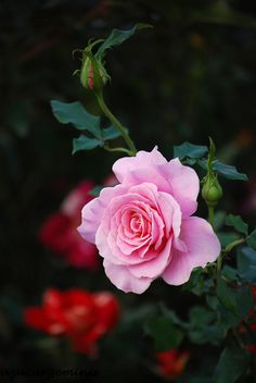 Floribunda Rose: Rosa 'Pink French Lace' (sport of 'French Lace' discovered in the U.S. before 2001)