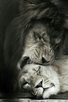Tag Accent Cuir - Lion Endormi Par Vida Vida TtZptSag