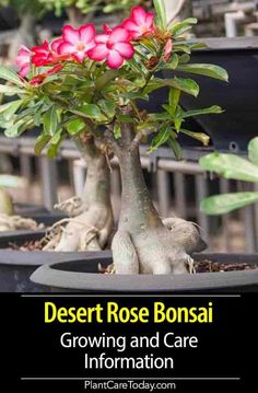 Desert Rose Bonsai Growing And Care Information#bonsai #care #desert #growing #information #rose Desert Rose, Planting Roses, Desert Rose Care, Bonsai Tree Care, Succulent Tree, Plants, Desert Rose Plant, Adenium, Rose Trees