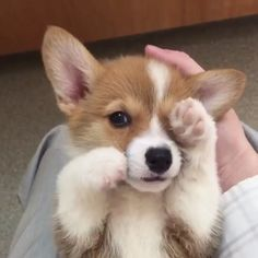 "12.8k Likes, 340 Comments - BarkBox (@barkbox) on Instagram: ""On a scale of 1-10 how badly do you want to pet this lil bb? #verybadly @artthecorgi"""