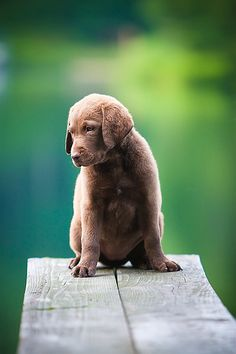 Chesapeake Bay Retriever. We had one of these growing up--such a great dog.