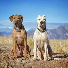 Rhodesian Ridgeback and Argentine Dogo