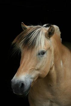 Sweet Norwegian Fjord horses has eyes that are loving.