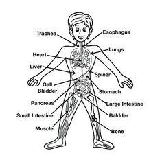 pic inner organs diagram - HD1500×1500