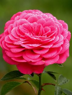 ~~Pink Rose with water drops by ***irene***~~