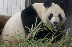 A Baby Panda Star Is Born -first panda to give birth through natural breeding methods at the zoo.    http://blogs.wsj.com/scene/2012/07/06/a-star-panda-is-born/?mod=google_news_blog#