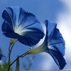 shades of blue Blue Morning Glory, Morning Glory Flowers, Morning Glory Tattoo, Volubilis, Amazing Flowers, Beautiful Flowers, Image Bleu, Rose Anglaise, Natur Wallpaper