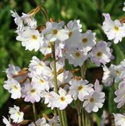 Primula munro (Tall pale primrose) Get care advice to your inbox every month - add this plant to your personal list.