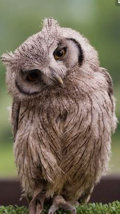 Young White Faced Scops owl