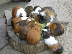 Large group of Guinea Pigs chowing down.