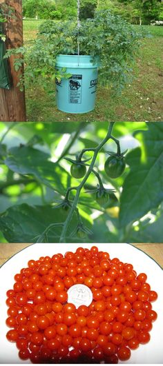 Bought the seed for these teensy tiny tomatoes today off of Seeds savers exchange website. Would be so cute as a garnish, and they are said to have great flavor! Sweet Pea Currant Tomatoes grown in a hanging 5 gallon bucket. Growing Tomatoes In Containers, Small Tomatoes, Grow Tomatoes, Edible Garden, Easy Garden, Farm Gardens, Outdoor Gardens, Vegetable Garden, Garden Plants