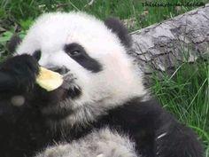Okay, it might be a panda blog