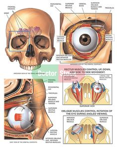 Anatomy and Movement of the Eye - Medical Illustration, Human Anatomy Drawing, Anatomy Illustration Eyeball Anatomy, Eye Anatomy, Skull Anatomy, Body Anatomy, Anatomy Art, Anatomy Sketches, Anatomy Drawing, Human Figure Drawing, Human Anatomy And Physiology