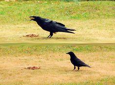 raven and crow: a size comparison by Rick McGrath, via Flickr