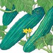 Cucumber : Marketmore 76 - Good for both home gardens or market in cool climate areas