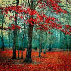 dripping cyan - landscape photography - passionate red nature photo - trees, forest, woods - autumn. $30.00, via Etsy.