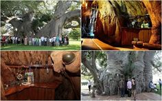 Sunland Baobab Tree Bar in Limpopo, South Africa Le Baobab, Baobab Tree, Oh The Places You'll Go, Cool Places To Visit, Places To Travel, Just Dream, Thing 1, I Want To Travel, Future Travel