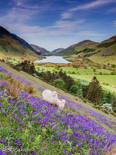 Bluebells in the Talyllyn valley, Gwynedd, Wales by Sarah Canton