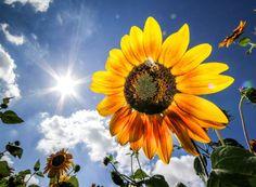 Abeille collectant le pollen sur un tournesol dans le soleil de Bad Homburg…