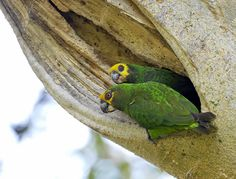Yellow-fronted Parrot Poicephalus flavifrons - Google Search