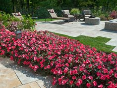 These sunpatiens are awesome! They are so full! Great ideal along borders.